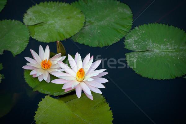 Mooie witte lelies bloemen vijver oppervlak Stockfoto © pzaxe