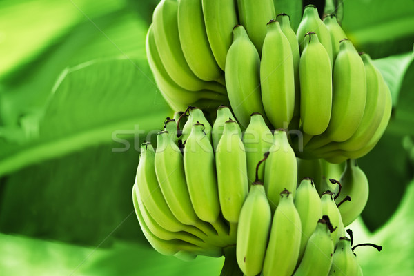 Unripe bananas in the jungle Stock photo © pzaxe