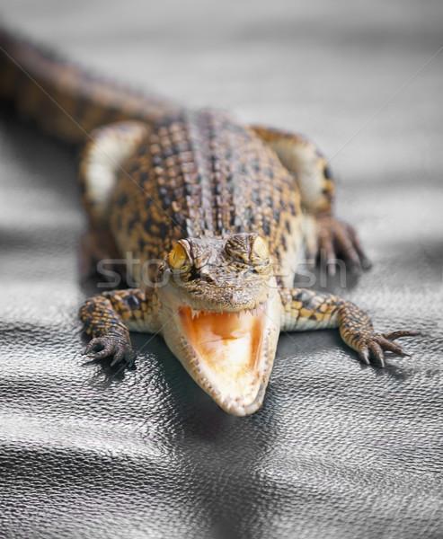 Pequeño cocodrilo abierto boca ojos Foto stock © pzaxe
