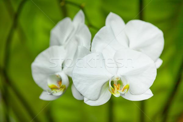 Fehér orchidea virágok közelkép Indonézia Bali Stock fotó © pzaxe