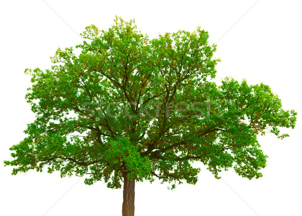 Stock photo: Old oak tree crown isolated on white background