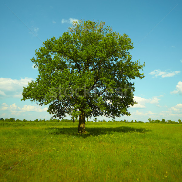 A strong Oak tree standing in a meadow Stock photo © pzaxe