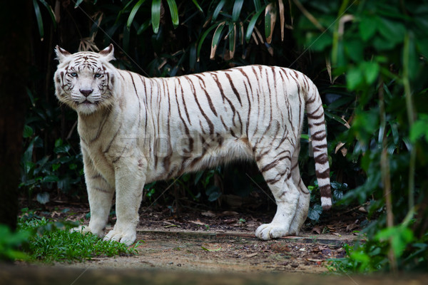 Stock photo: White tiger in forest