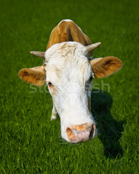 Funny cow on meadow - a close-up portrait Stock photo © pzaxe