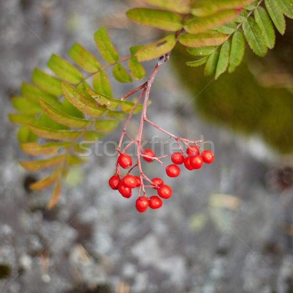 Fruits of wild red mountain ash Stock photo © pzaxe