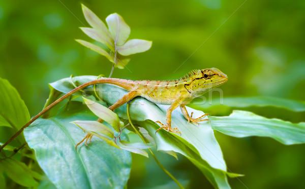Curioso floresta lagarto ver Tailândia Foto stock © pzaxe