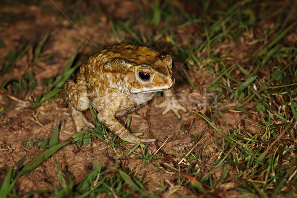 Common toad sitting in the grass Stock photo © pzaxe