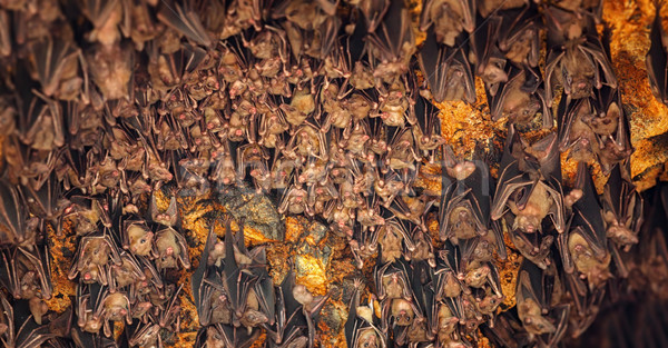 Bats Sleeping on Ceiling at Goa Lawah Temple in Bali Stock photo © pzaxe