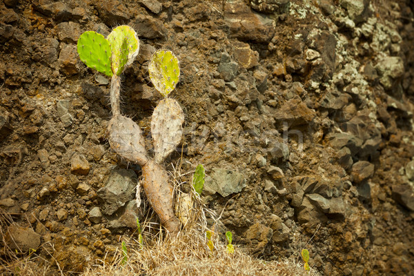 Stock photo: Cactus - Opuntia (prickly) on the background of rocks. Indonesia