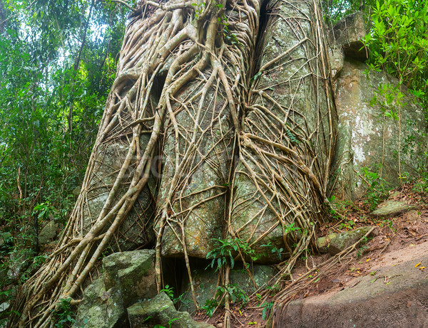 Trailing Roots of Tropical Trees Split through Enormous Rocks Stock photo © pzaxe