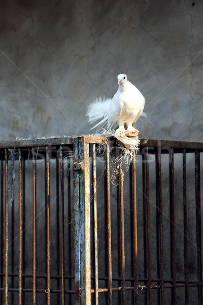 White Dove and Cage Stock photo © qiun