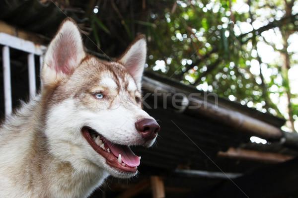 Bruin husky Blauw oog Stockfoto © qiun