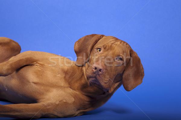 Köpek yan kafa Stok fotoğraf © Quasarphoto