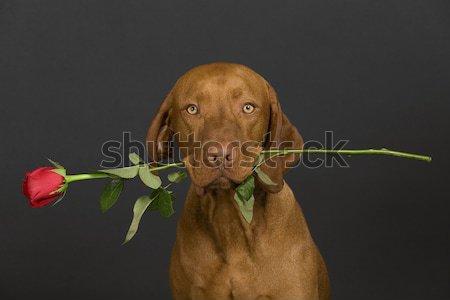 Foto stock: Saltar · perro · aislado · blanco