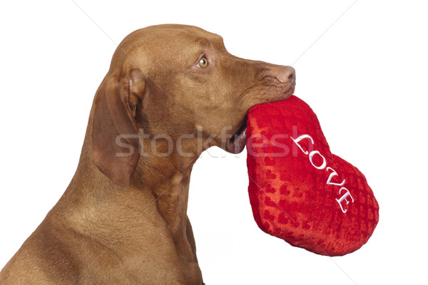 obedient dog holding red heart Stock photo © Quasarphoto