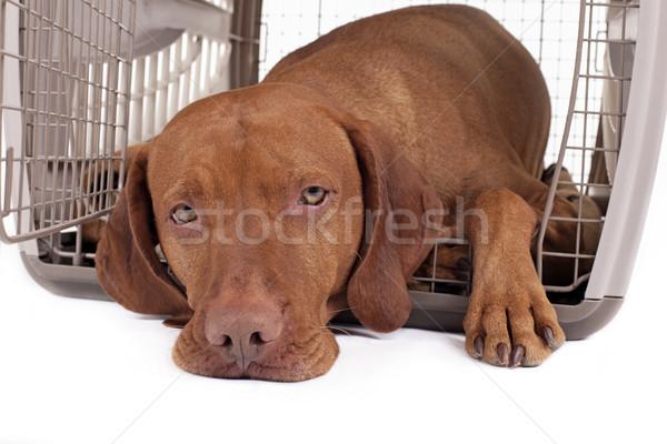 Psa skrzynia patrząc kolor Zdjęcia stock © Quasarphoto