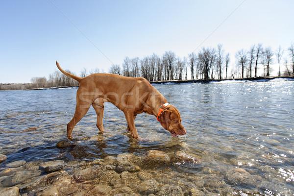 Köpek içme nehir güvenli köpekler içmek Stok fotoğraf © Quasarphoto