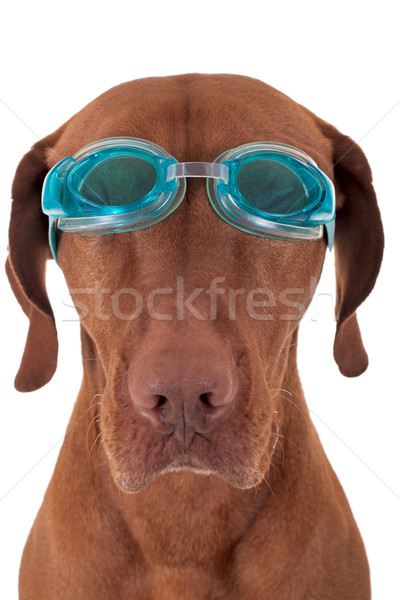 golden dog with swimming goggles Stock photo © Quasarphoto