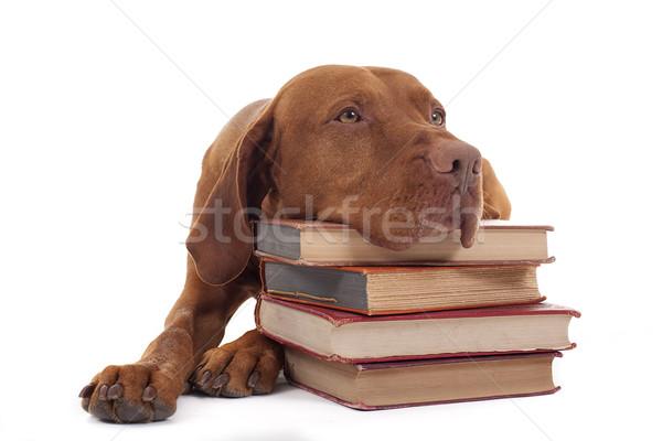 собака книгах имбирь цвета Сток-фото © Quasarphoto