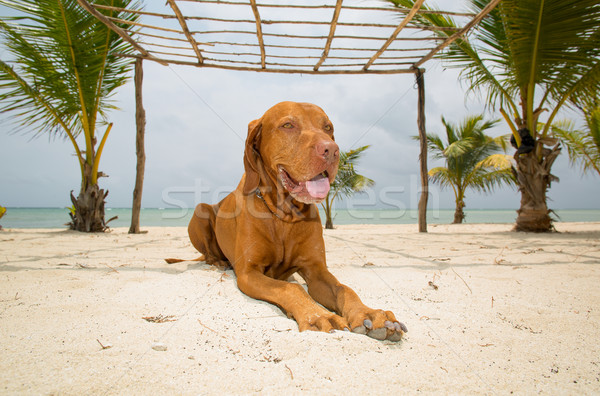 golden dog laying on beach Stock photo © Quasarphoto