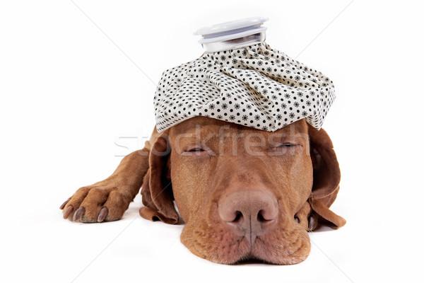 Hasta köpek altın buz çanta Stok fotoğraf © Quasarphoto