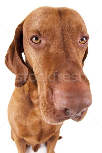 Extreme собака портрет глаза золото Сток-фото © Quasarphoto
