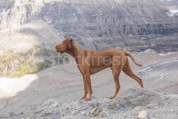 Bozulmamış erkek köpek dağlar Stok fotoğraf © Quasarphoto
