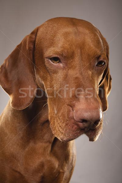 Stüdyo köpek portre Stok fotoğraf © Quasarphoto