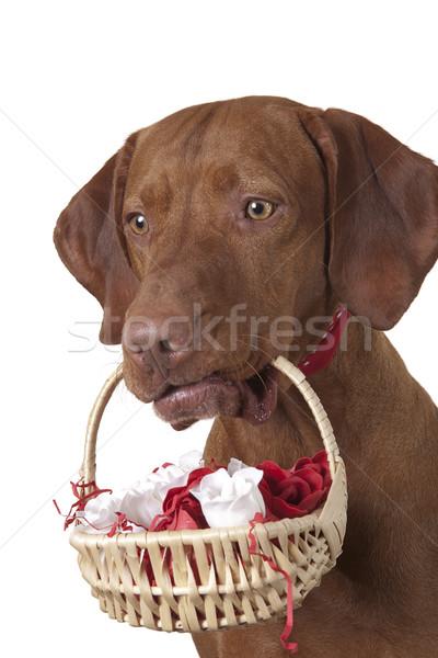 Köpek sepet güller beyaz kırmızı gül Stok fotoğraf © Quasarphoto