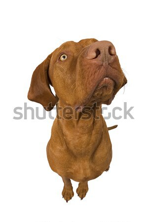 exagerated wide angle dog portrait Stock photo © Quasarphoto