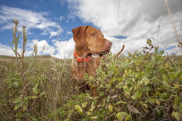 hunting dog working in field Stock photo © Quasarphoto