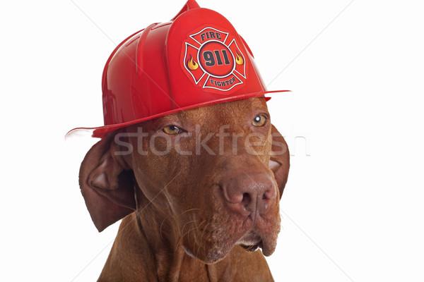 Bombeiro cão húngaro bombeiros capacete Foto stock © Quasarphoto