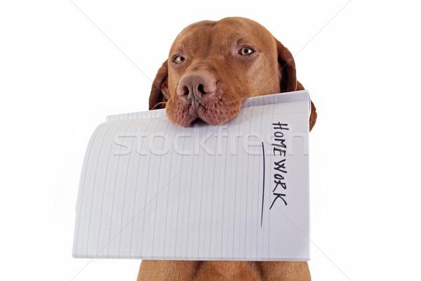 Hund Hausaufgaben halten Mund weiß Stock foto © Quasarphoto