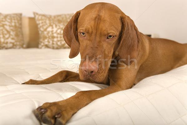 dog on bed Stock photo © Quasarphoto