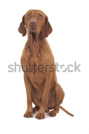 Posiedzenia niewinny psa biały mężczyzna Zdjęcia stock © Quasarphoto