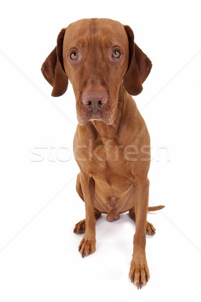 Innocente cane seduta colore guardare Foto d'archivio © Quasarphoto
