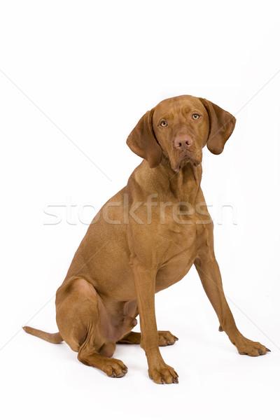 vizsla dog Stock photo © Quasarphoto