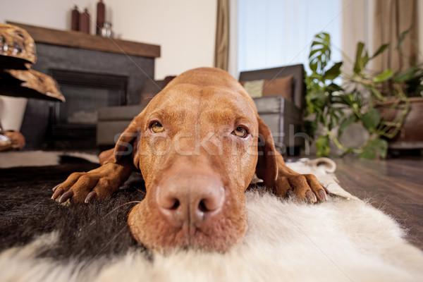 Köpek aile oda altın Stok fotoğraf © Quasarphoto