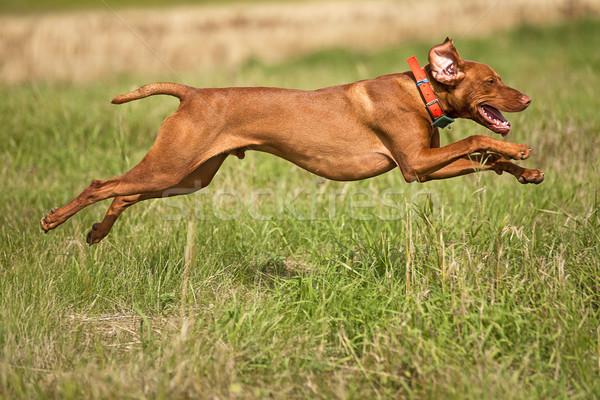 Springen jachthond wijzend hond buitenshuis Stockfoto © Quasarphoto