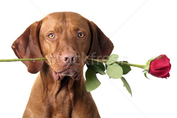 Köpek gül ağız çiçek Stok fotoğraf © Quasarphoto