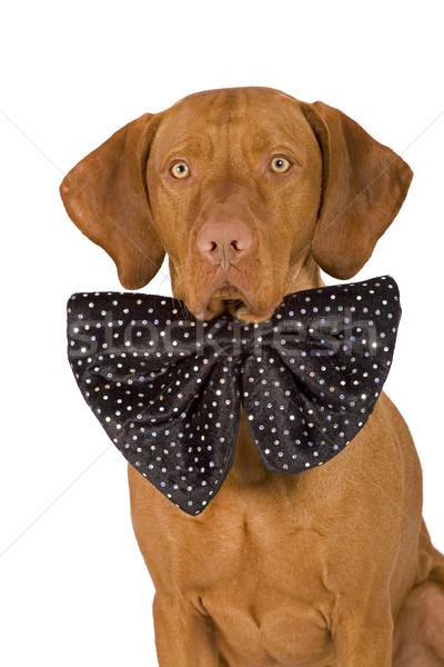 службе собака портрет Сток-фото © Quasarphoto