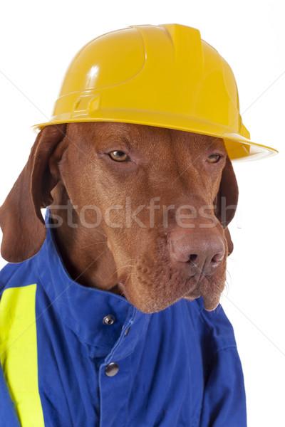 çalışma köpek altın Stok fotoğraf © Quasarphoto