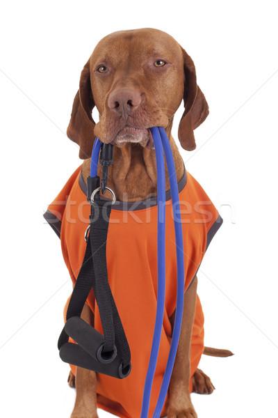 Klaar training gouden zuiver ras jachthond Stockfoto © Quasarphoto