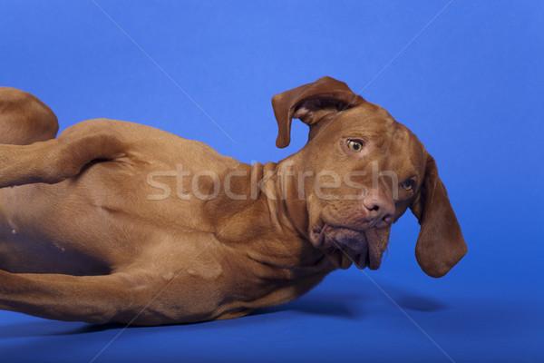 Perro escuchar comando piso cabeza Foto stock © Quasarphoto