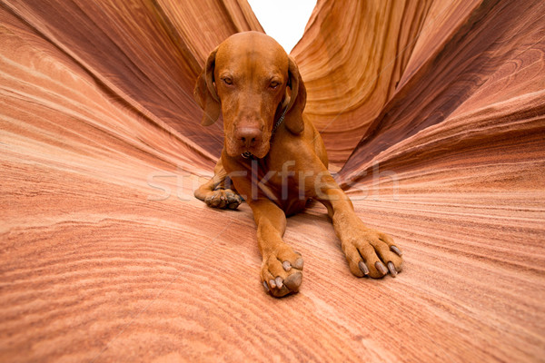 Köpek bakıyor kamera açık havada altın renk Stok fotoğraf © Quasarphoto