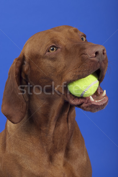 pure breed dog with tennis ball in mouth Stock photo © Quasarphoto