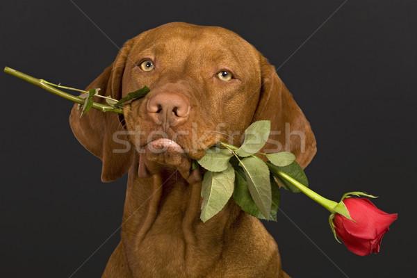 Валентин собака закрывается Сток-фото © Quasarphoto