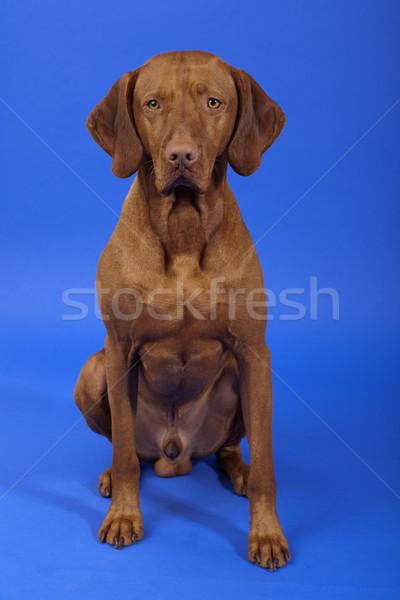 Erkek köpek oturma bozulmamış Stok fotoğraf © Quasarphoto