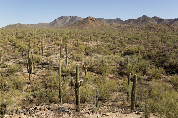 desert with saguaro cactuses Stock photo © Quasarphoto