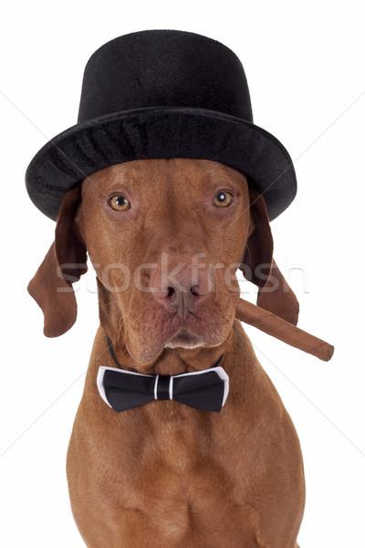 Köpek puro şapka ağız Stok fotoğraf © Quasarphoto